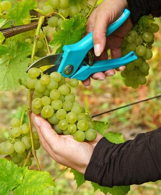 WInzer bei der Weinlese